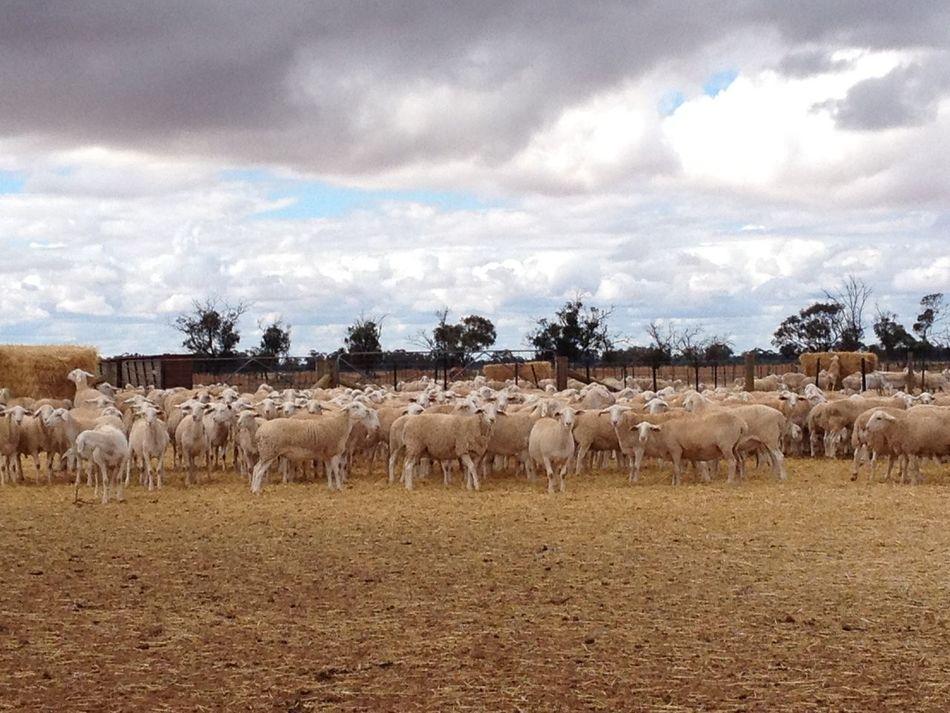 #Australia #farm #farmlife #sheep #Working #wwoofing Arid Climate Beauty In Nature Cloud - Sky Day Grazing Herbivorous Medium Group Of Animals Nature Non-urban Scene Plain Tranquil Scene Tranquility Miles Away