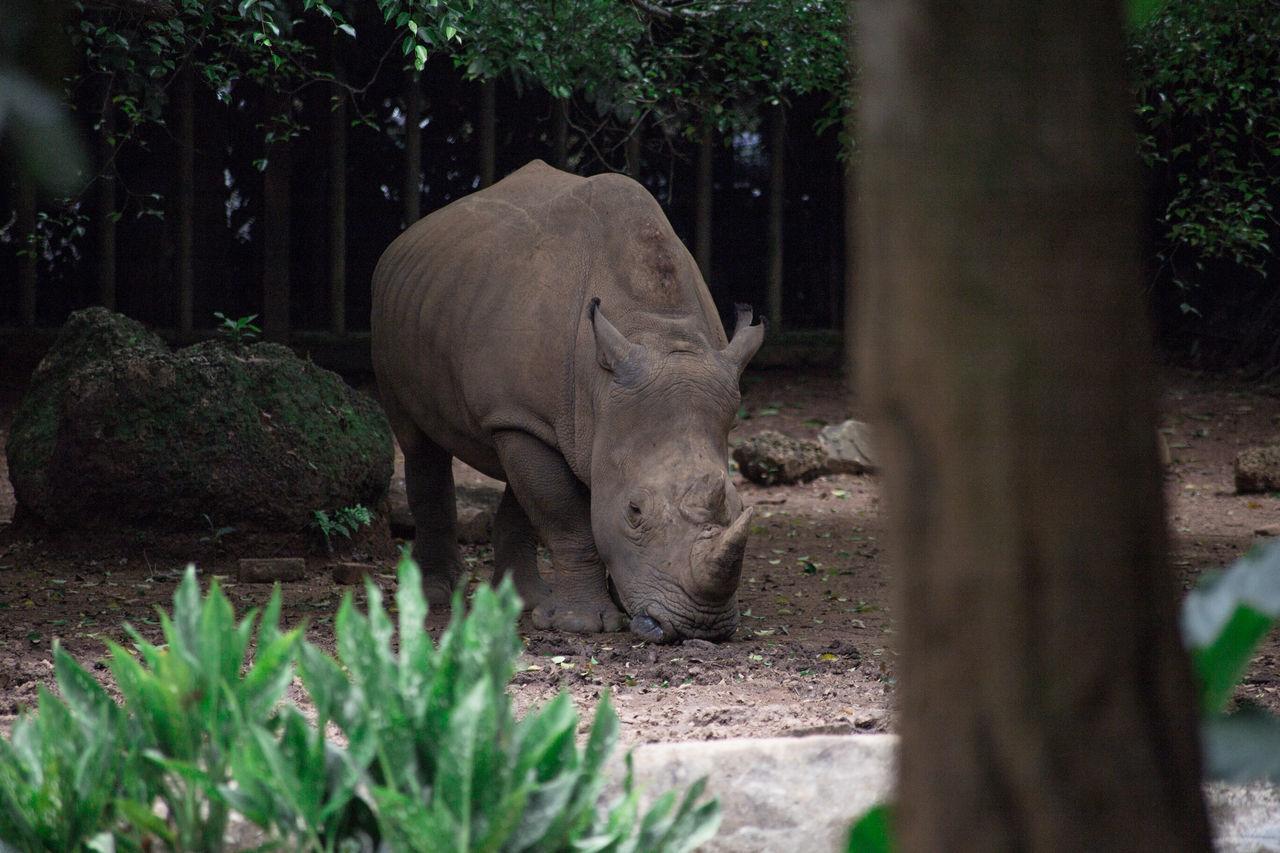 one animal, animals in the wild, animal themes, animal wildlife, mammal, nature, rhinoceros, outdoors, day, tree, no people, standing