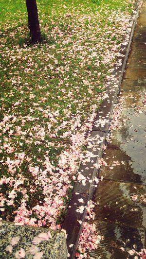 落满地的樱花