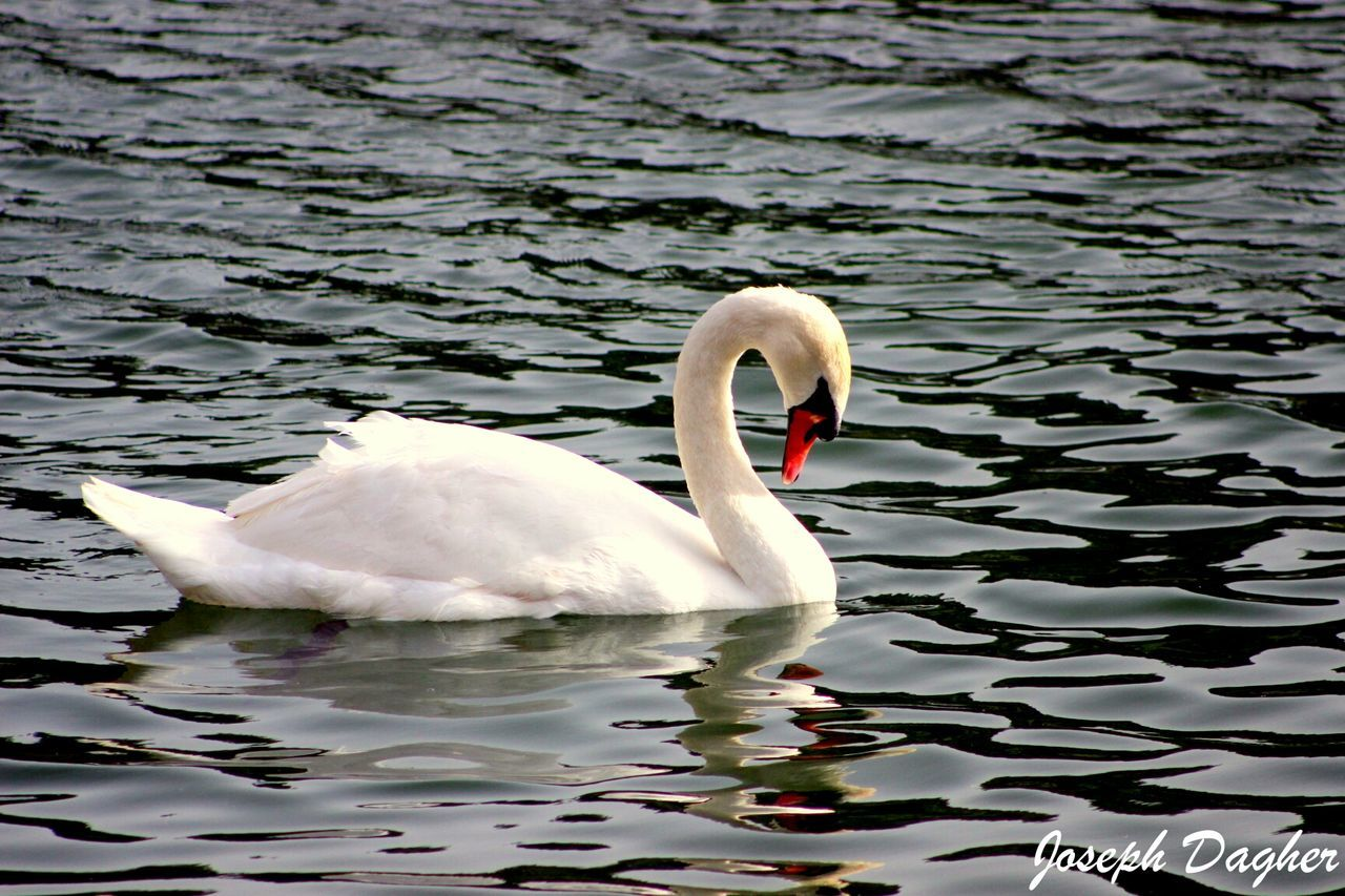 water, swan, animal themes, animals in the wild, lake, swimming, one animal, bird, water bird, white color, nature, animal wildlife, waterfront, reflection, floating on water, day, no people, rippled, beak, outdoors, beauty in nature, close-up