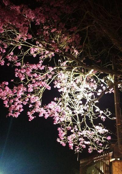 ypē florido em Santana