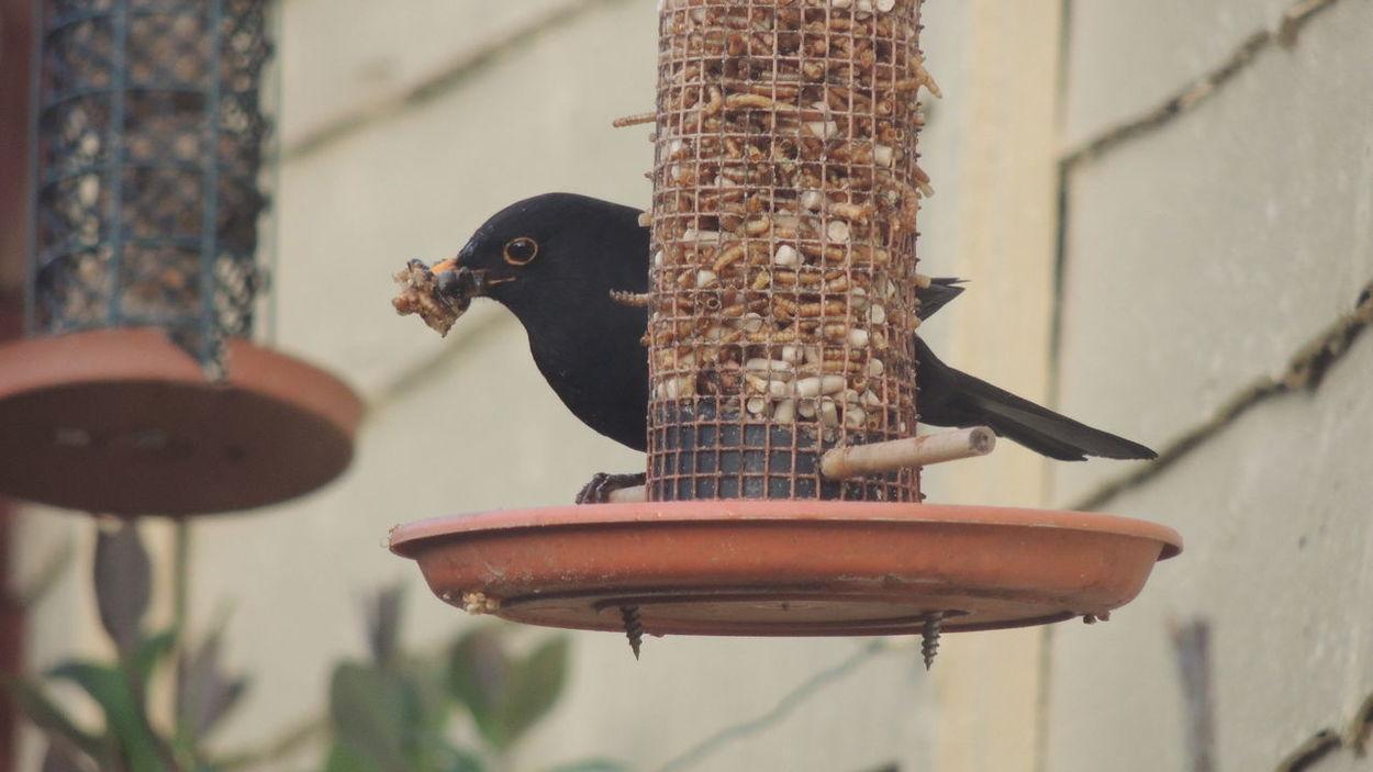 Animal Wildlife Birds Birds In My Garden Blackbird Close-up Day Focus On Foreground Nature No People Outdoors Selective Focus