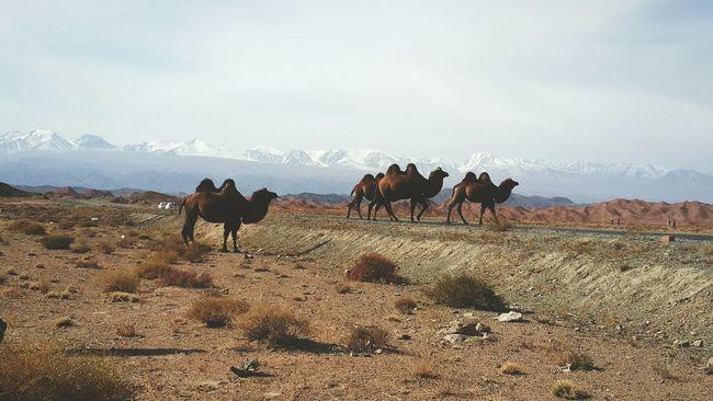 My hometown. Gobi Desert Camel Silk Road Beautiful Nature