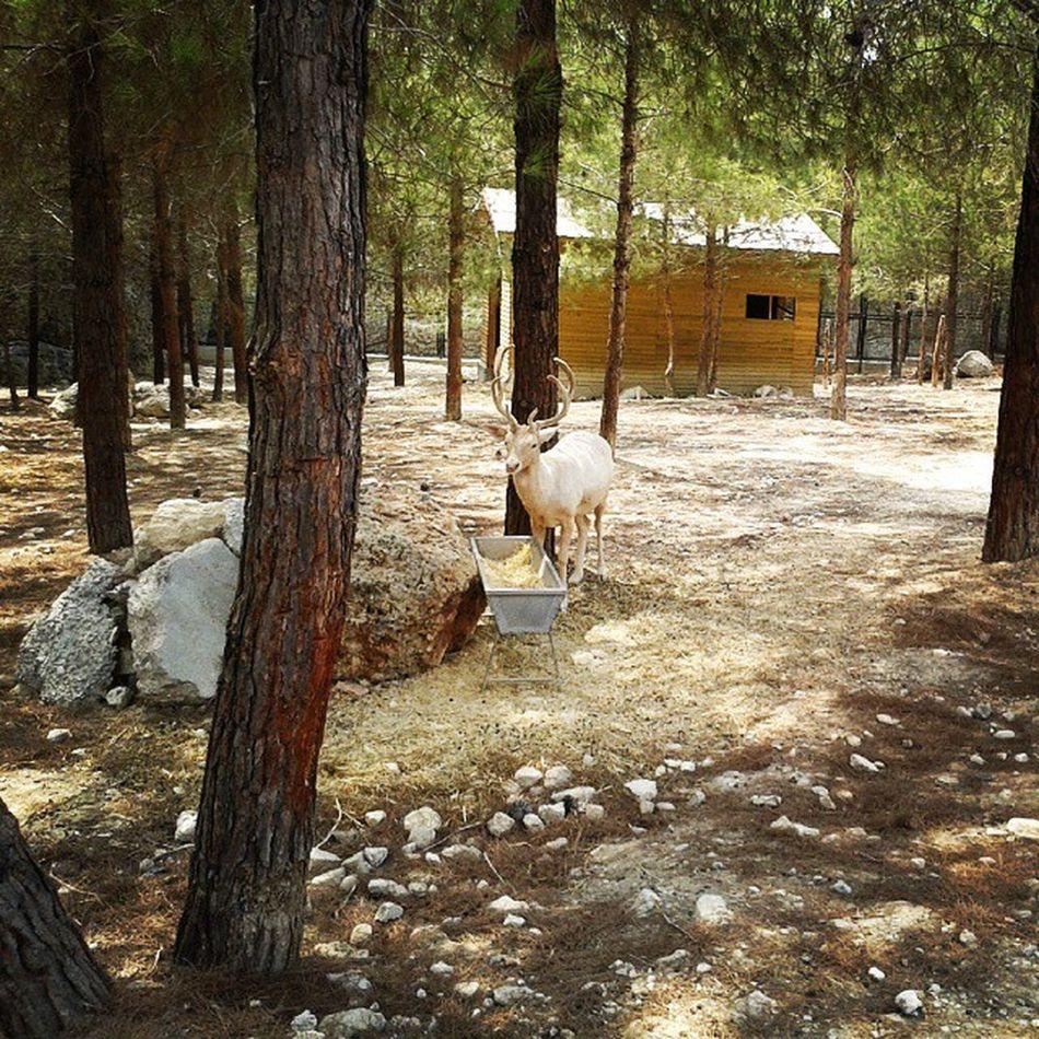 Reodeer Beyazgeyik Tarsus Zoo