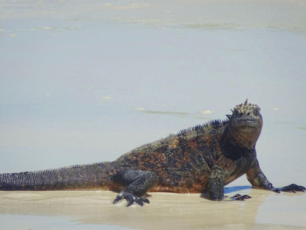 Animal Themes Animals In The Wild Galapagos Iguana Nature One Animal Reptile Sand Wildlife