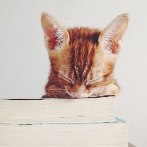 Kitty Kitty Cat Ginger Cat Yellowcat Cat Cute Sleepy Kitten