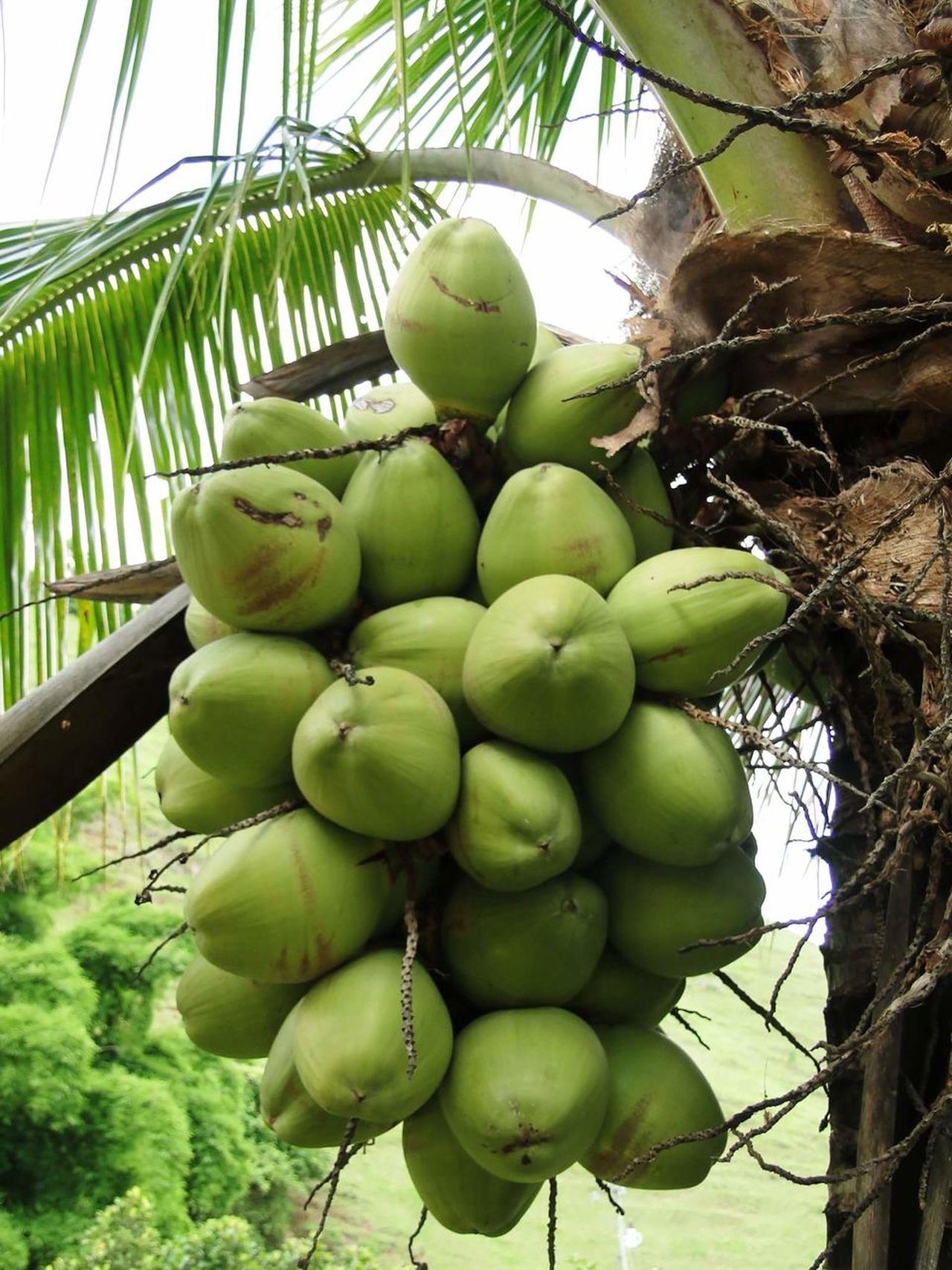 🌴 Fruit Tree Healthy Eating Food And Drink Coconut Palm Tree Coconut Coconut Tree Coconuts Coconut Water Água De Coco  Coco Frutas Frutas Frescas Fresh Fruits Fruit Tree Coconuts🌴