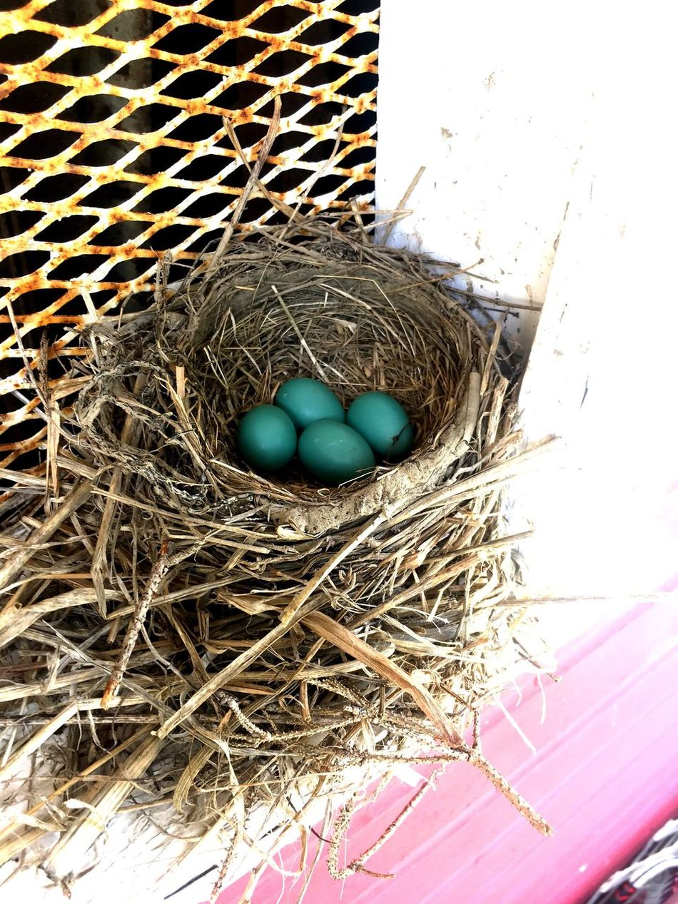 Spring Springtime Robin Bird Nest Egg Robin Eggs Robin Eggs In A Nest Blue
