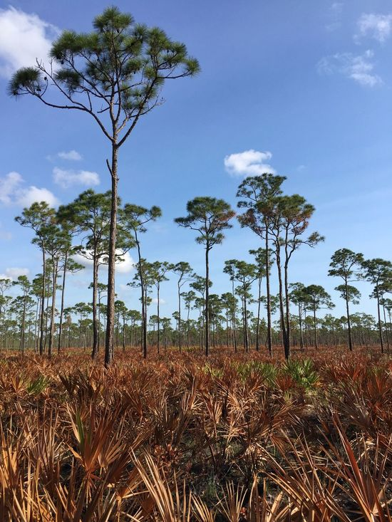 After a controlled burn Jonathan Dickinson State Park Florida Park Pinetrees Pine Trees Palmetto Controlled Burn Nature's Diversities