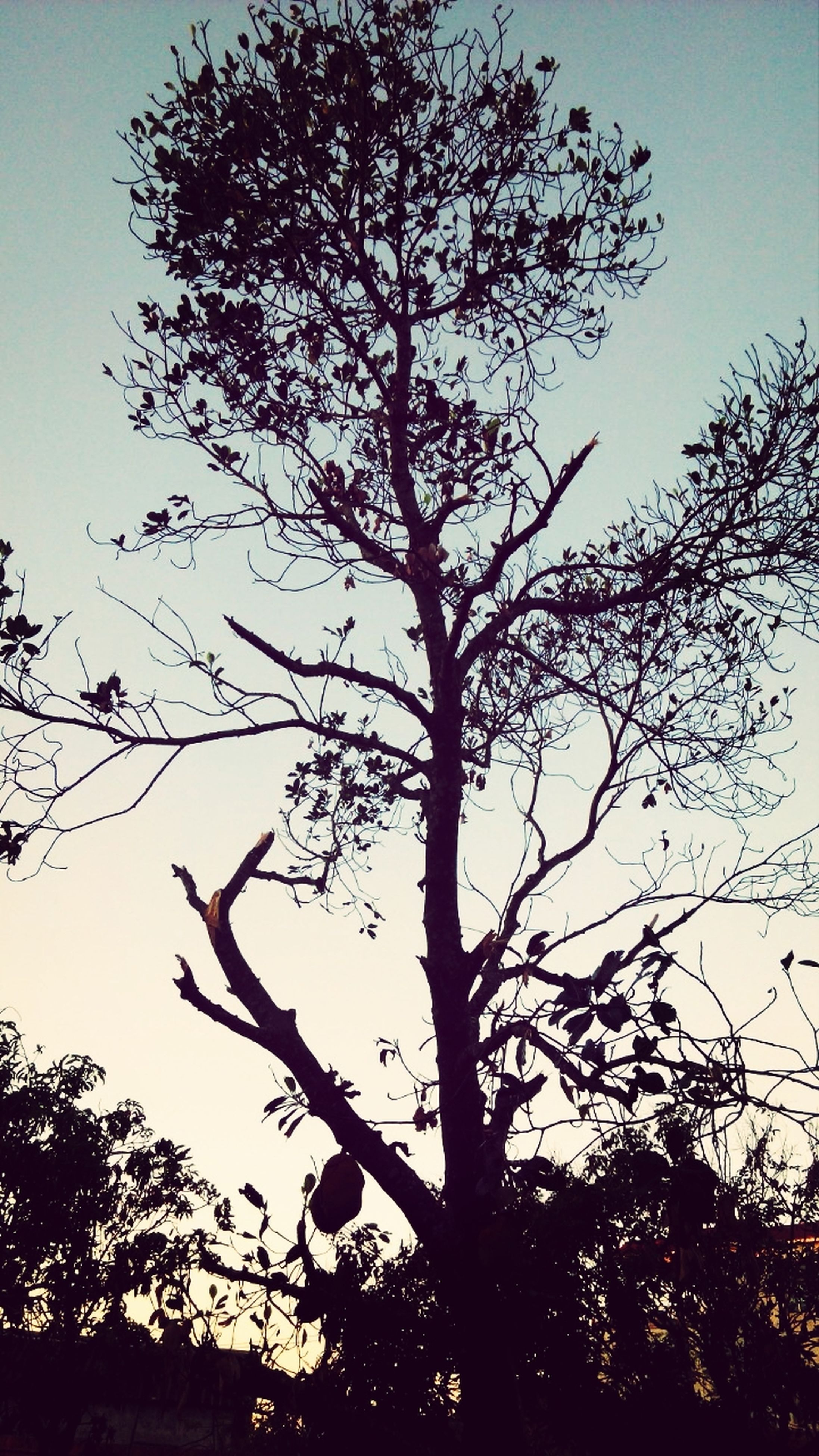 tree, branch, low angle view, silhouette, tranquility, growth, nature, beauty in nature, sky, bare tree, clear sky, scenics, tranquil scene, outdoors, tree trunk, no people, sunset, sunlight, idyllic, day