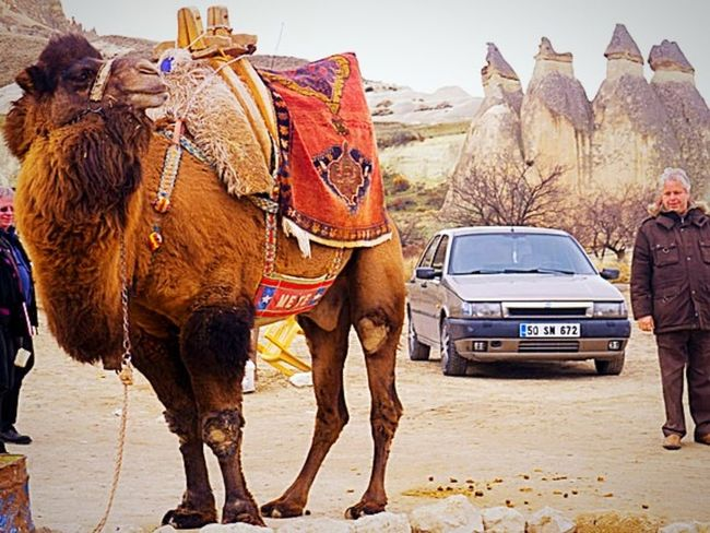 Animal Automobile Camel Car Casual Clothing Country Day Envision The Future Lifestyles Man Old Outdoors Road Sky Transportation Traveling Vehicle