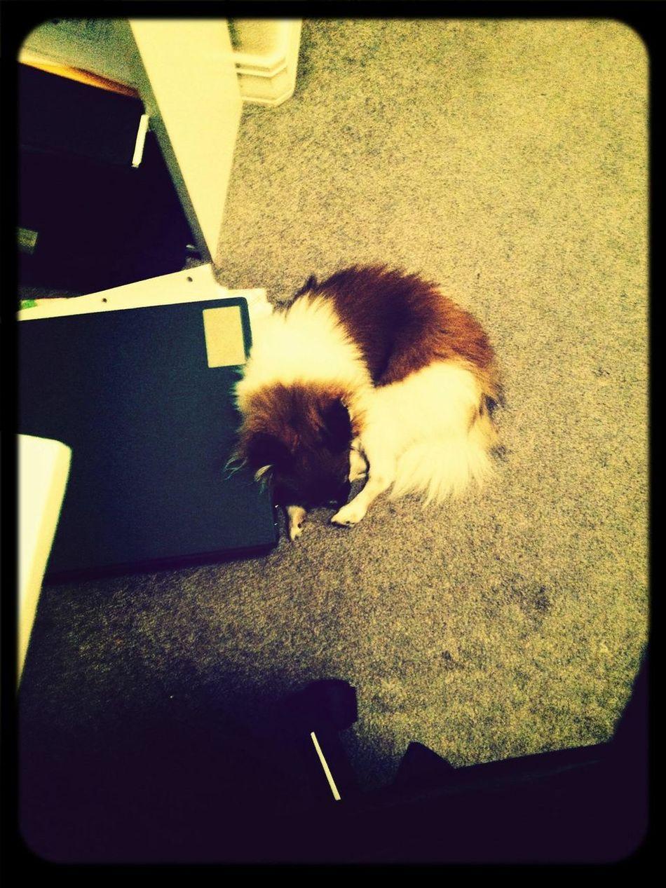 Grad School Grad School Problems Studying Pomeranian such a sleepy puppy