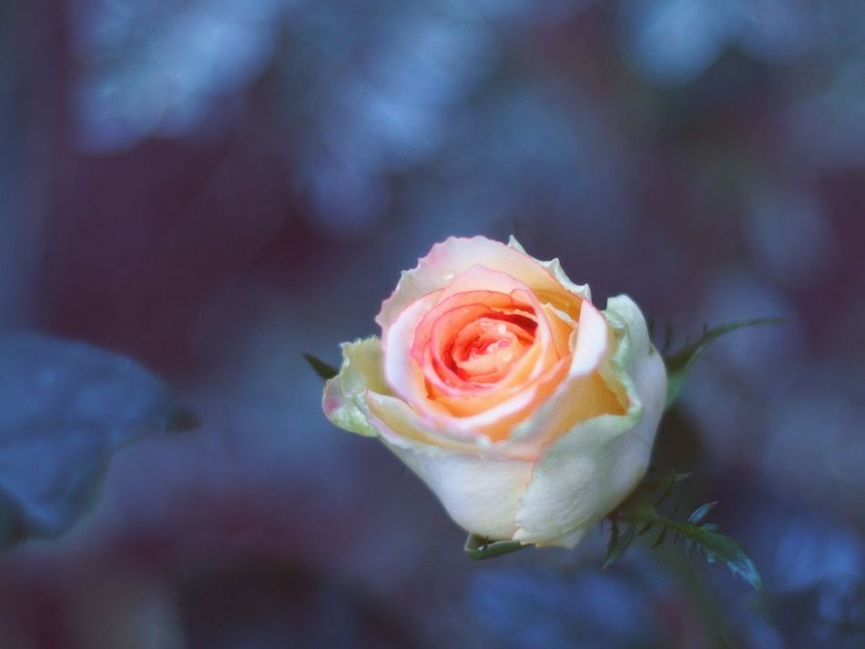 Rose🌹 Nature Fragility Beauty In Nature Freshness Close-up Macro Beauty Garden Photography Catch The Moment Macro Photography Striving For Excellence Outdoors Flower Flower Head Bokeh Photography