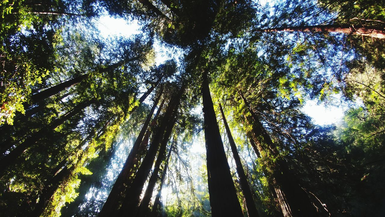 redwoods, stick-straight, zoom hundreds of feet into the blue sky in clear morning sunlight. Redwoods Forest Canopy Peaceful Scene Renewal  Serenity Looking Up Center Of Attention Tree Low Angle View Nature Growth Beauty In Nature Day No People Green Color Tranquility Outdoors Freshness