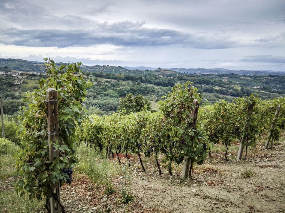 Agriculture Cloud Cloud - Sky Cloudy Day Field Green Color Growth Italy Landscape Nature Non-urban Scene Outdoors Piedmont Piemonte Plant Rural Scene Sky Tranquil Scene Tranquility Vineyard