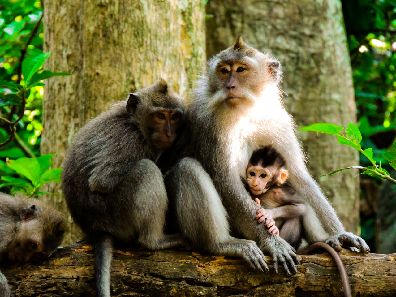 animals in the wild, animal themes, two animals, animal family, togetherness, animal wildlife, mammal, monkey, day, young animal, outdoors, nature, sitting, no people, tree trunk, forest, tree, portrait, close-up