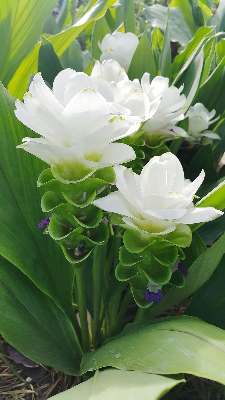 Siam Tulip Flowers Flower Collection Flowers, Nature And Beauty Flower Photography Nature Nature_collection Nature Photography Natural Beauty Naturelovers Flowerlovers Beautiful