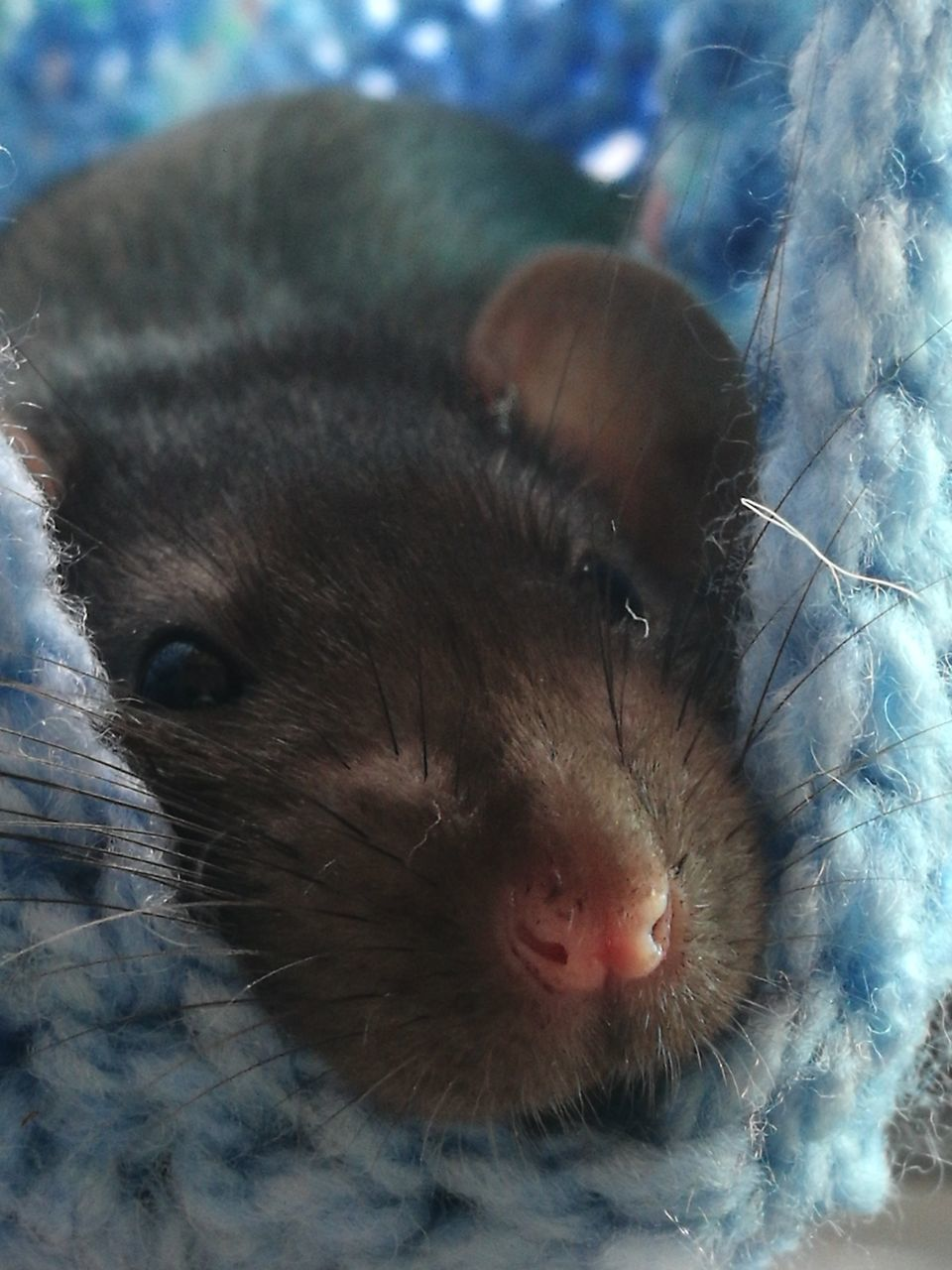 mammal, animal themes, one animal, close-up, pets, indoors, domestic animals, no people, whisker, day