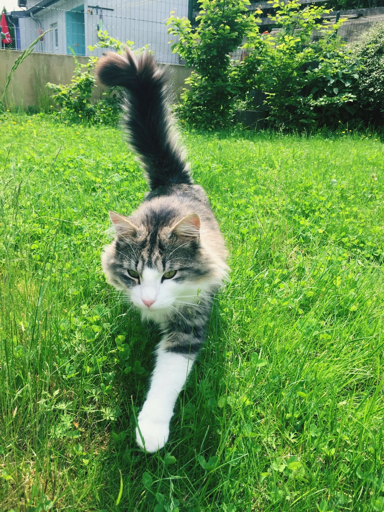 Neighbors Cat coming to me 😺, Nachbarskatze , Cat♡ Cats Cat Lovers Cats 🐱 Cats Lovers  Katzen 💜 Katzen Katzenliebe Katze Tiere♡ Tiere Tiere/Animals Animals🐾 Chat Hobbyphotography Hobbyfotograf Iphonegraphy