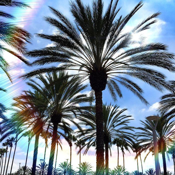 Palm Trees Irvine California
