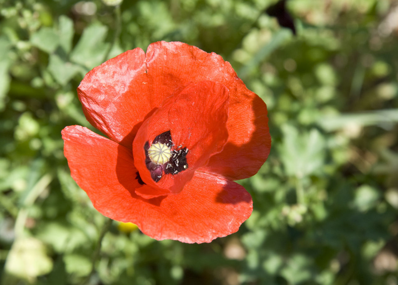 close up of a poppy - wildflower on a meadow Beauty In Nature Close-up Flora Flower Head Fragility France Freshness Mediterranean  Nature Papaver Papaver Rhoeas Petal Plant Poppy Poppy Flower Poppy Flowers Provence Red Single Flower Spring Stamen Stem Uncultivated Wild Wildflower