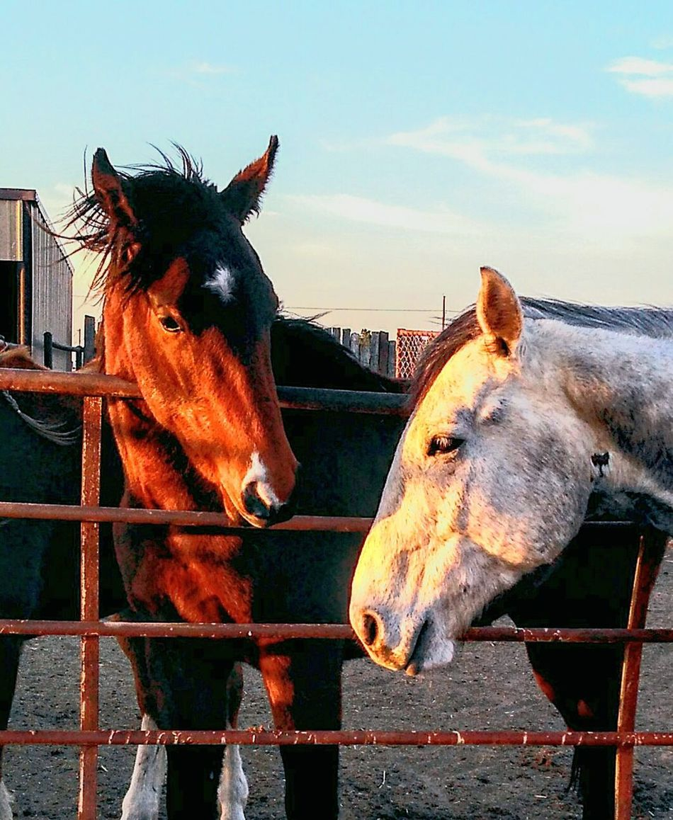 Ranch horses Animal Themes Domestic Animals Horse Mammal Livestock Sky Stable Close-up No People Outdoors Day Togetherness Nature Working Animal Mane Country Life Cowboy Farm Ranch Life Ranch Barn Country Living Color Portrait Pasture, Paddock, Grassland, Pastureland Filly