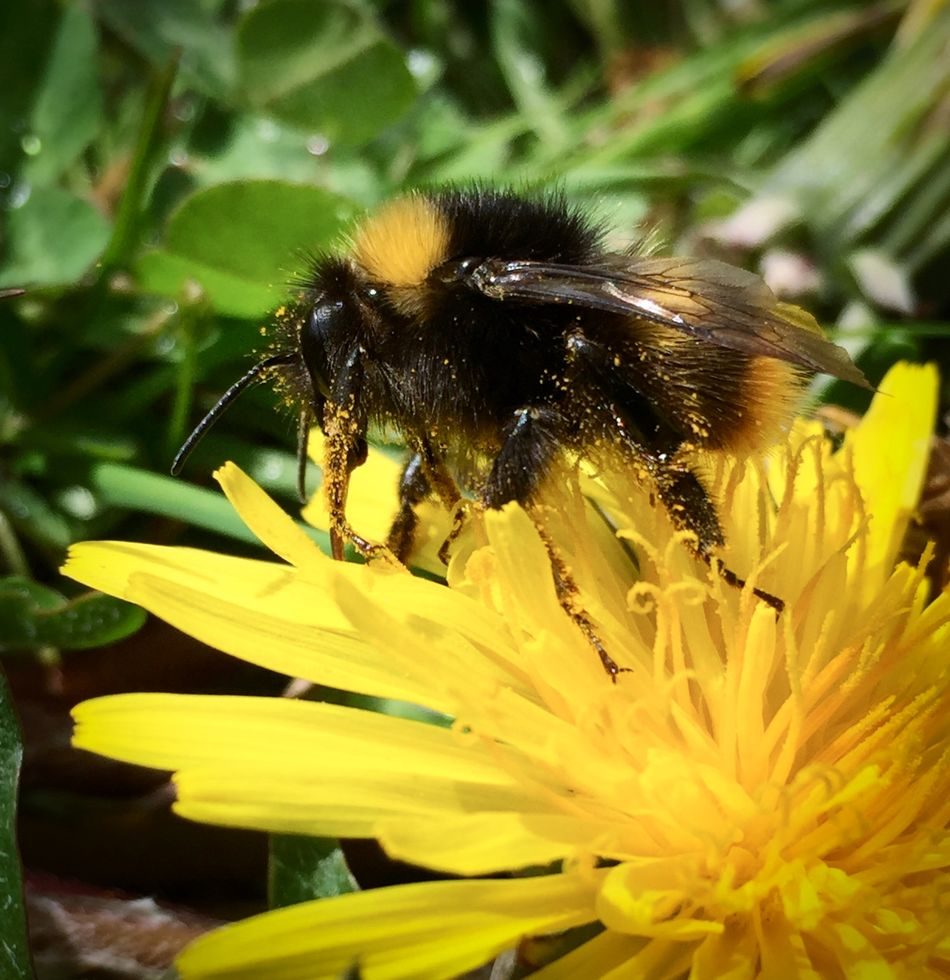 Bee on a Dandelion Animal Themes Animal Wildlife Animals In The Wild Beauty In Nature Bee Bumblebee Close-up Day Flower Flower Head Fragility Freshness Growth Insect Nature No People One Animal Outdoors Petal Plant Pollen Pollination Yellow