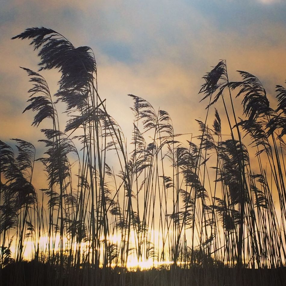 Sunset Nature Sky Growth Silhouette No People Plant Beauty In Nature Outdoors Tranquility Cloud - Sky Scenics Tree Landscape Close-up Day Tall Grasses