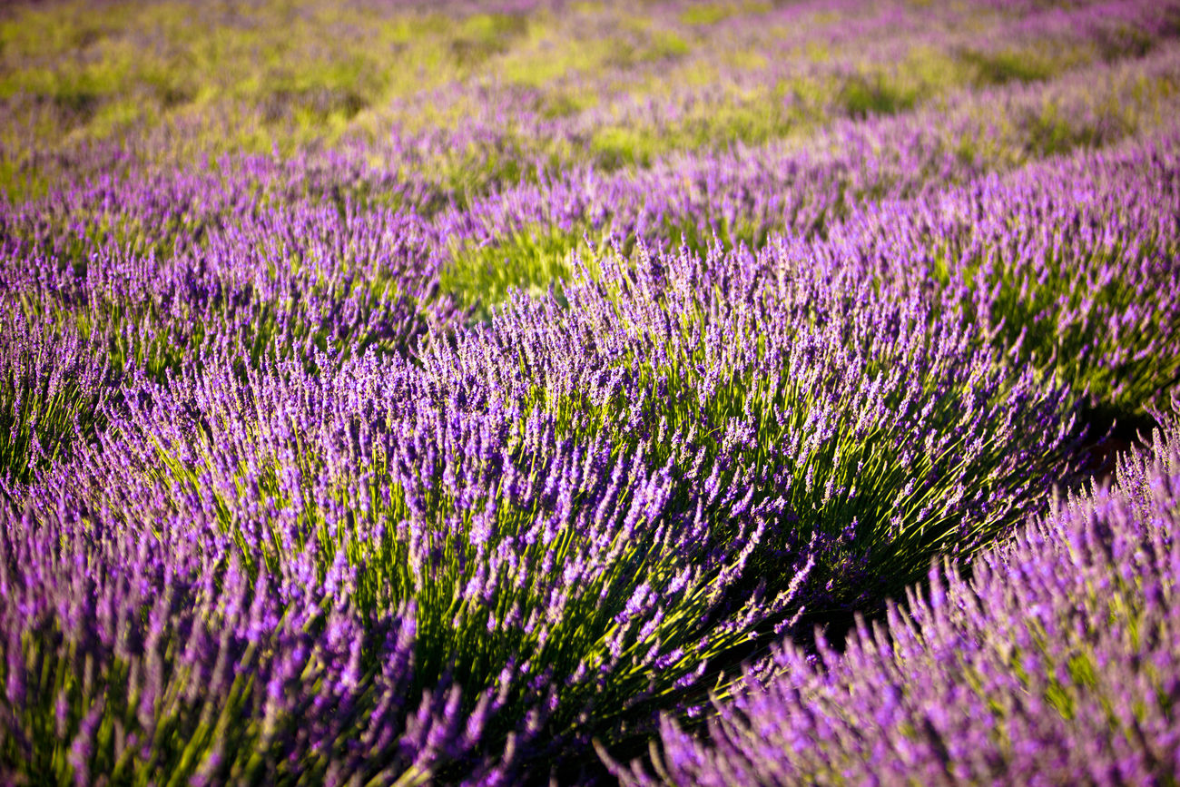 Lavender growing near Stellenbosch, South Africa Agriculture Alternative Medicine Aromatherapy Beauty Day Field Filling Flower Growth Herb Herbal Medicine Landscape Lavender Lavender Colored Nature No People Outdoors Perfume Plant Plateau Purple Rural Scene Selective Focus South Africa Stellenbosch