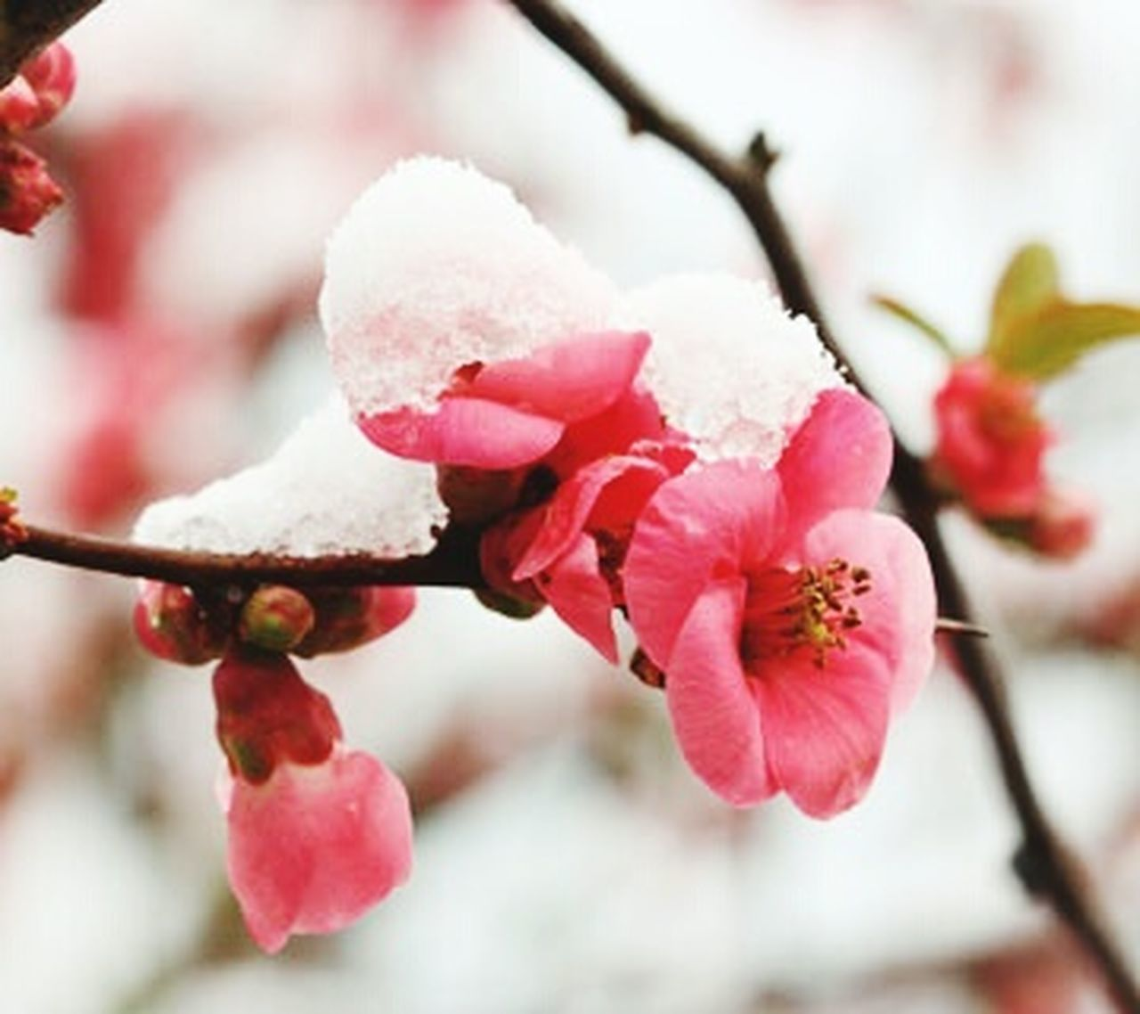 flower, nature, beauty in nature, branch, growth, winter, close-up, twig, fragility, freshness, pink color, blossom, cold temperature, springtime, tree, plant, outdoors, no people, day, snow, focus on foreground, plum blossom, flower head