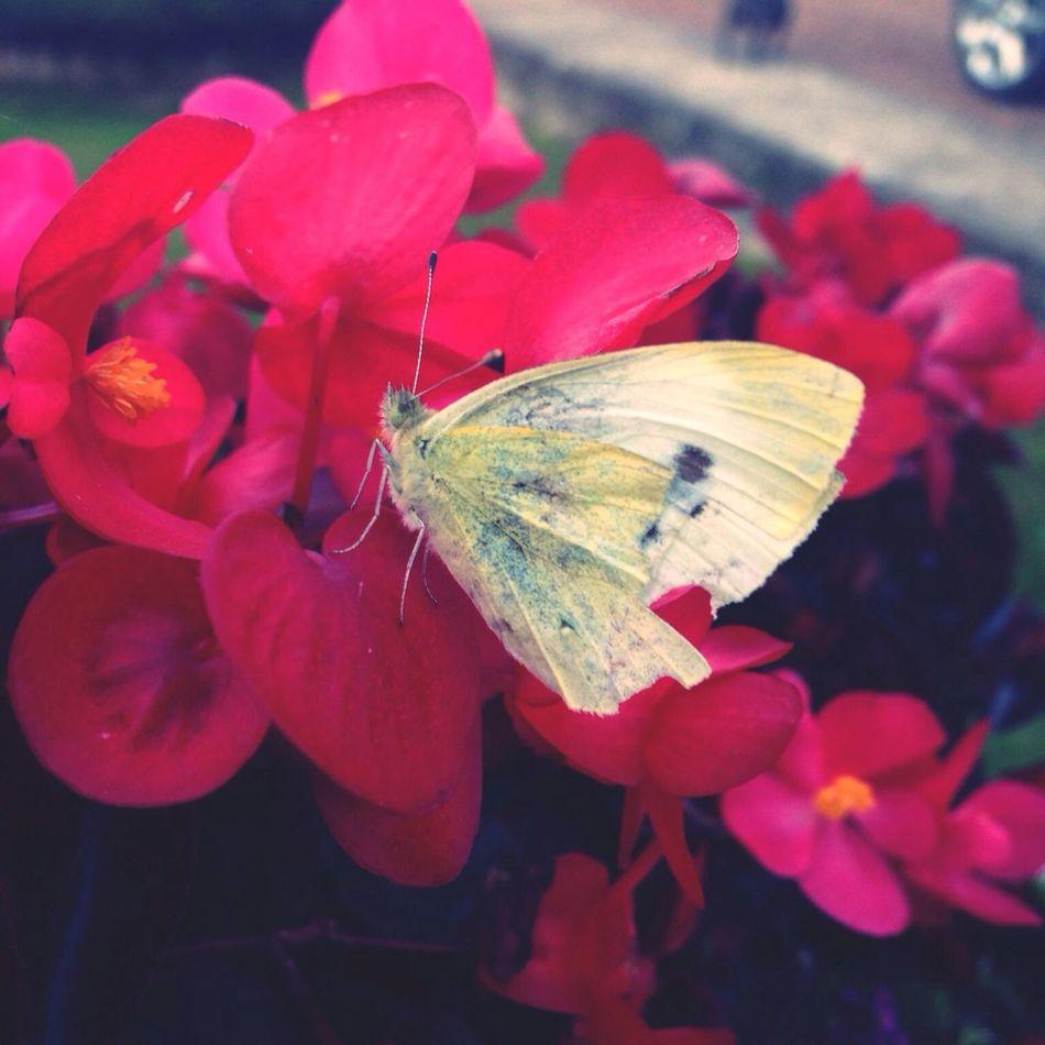 Papillon qui c'est katcher avec mon petit chien !