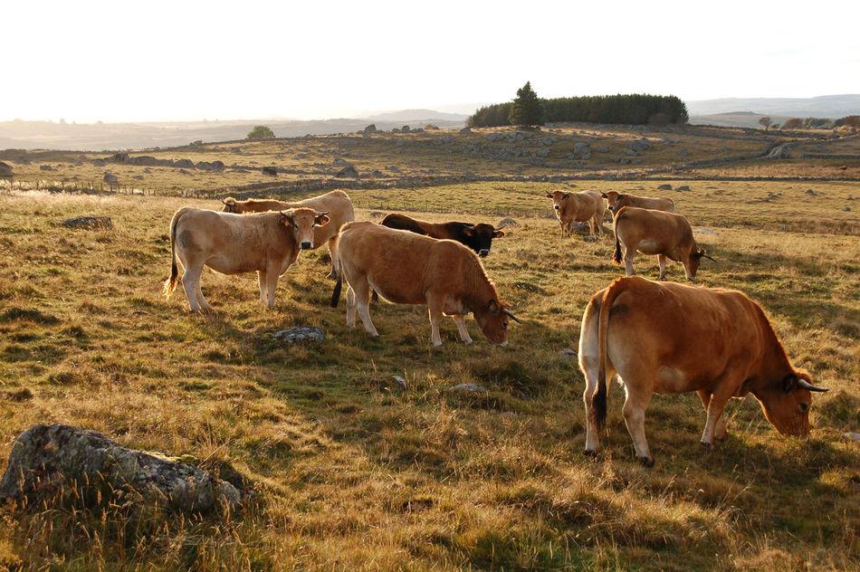 Beautiful stock photos of kühe, Animal Themes, Clear Sky, Countryside, Cow