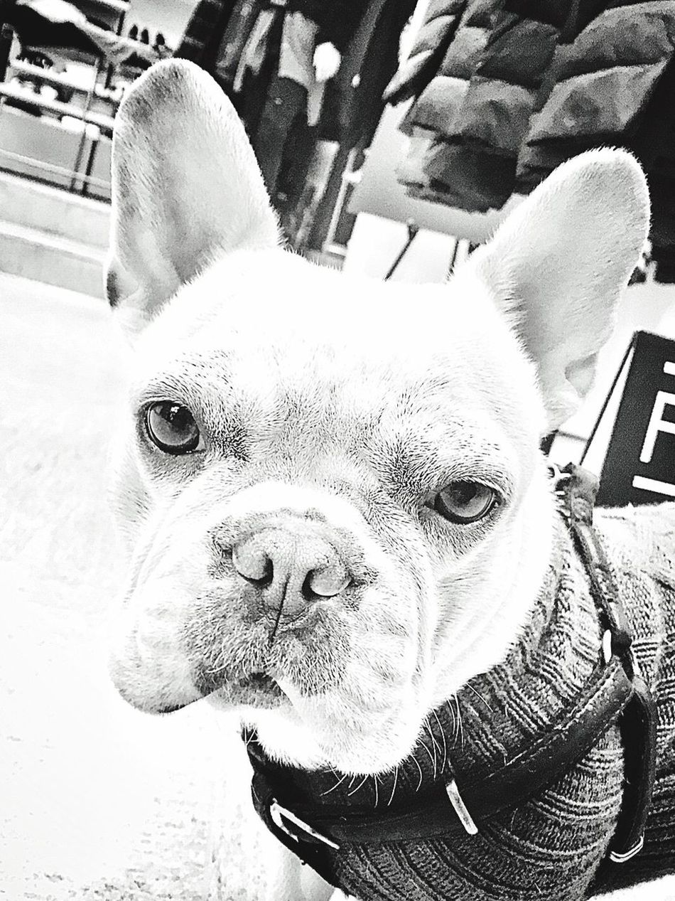 My Dog Blackandwhite Photography Blackandwhite Frenchbulldog Pets
