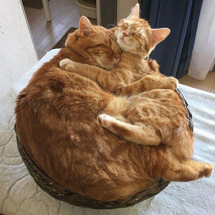 Cat Neko ねこ 猫 ねこ Cats スコティッシュフォールド Scottishfold 茶トラ ロロ Lolo コケティッシュフォールド コケティッシュホールド Piopio Pio ピオ 今日もべったりのピオ&ロロ😚😽💕そんな顔くっ付けなくてもな感じですが…顔くっ付けないとずりずり頭がかごから落ちるんだな…💦 かご猫