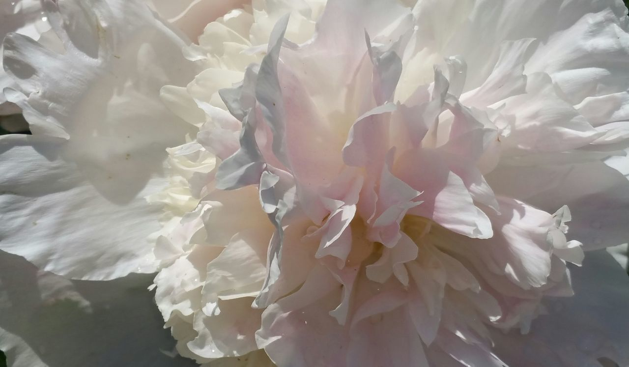 Peony  like cotton candy, at the Arnold Arboretum