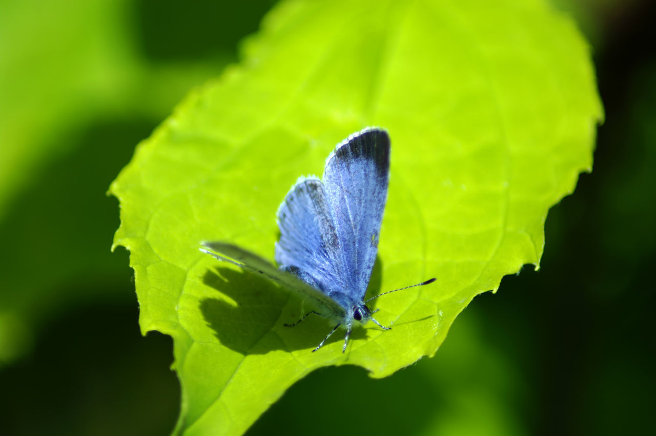 Chalk Blue Butterfly Beauty In Nature Blue Butterfly Butterfly - Insect Chalk Blue Butterfly Close-up Focus On Foreground Fragility Green Color Insect Leaf Nature Wildlife