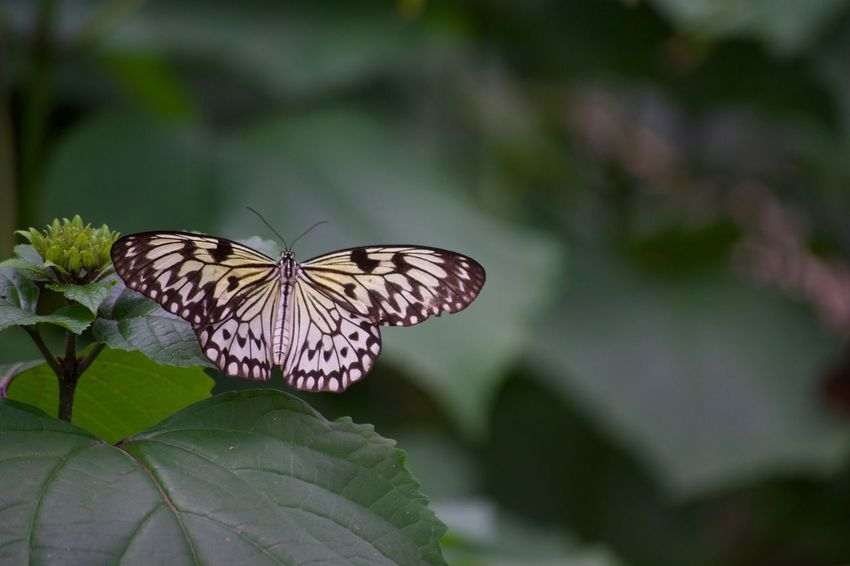 Animal Markings Animal Themes Animal Wing Animals In The Wild Beauty In Nature Butterfly Butterfly - Insect Close-up Day Flower Focus On Foreground Fragility Freshness Full Length Insect Leaf Nature No People One Animal Outdoors Perching Plant Pollination Spread Wings