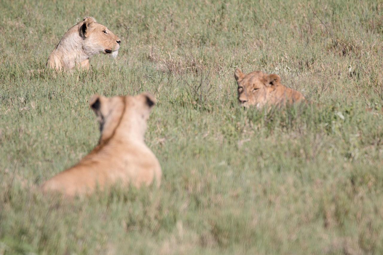Africa African Beauty Grasses Lions Nature Ngorongoro Crater Safari Serengeti Serengeti National Park Tanzania Wildlife Wildlife & Nature