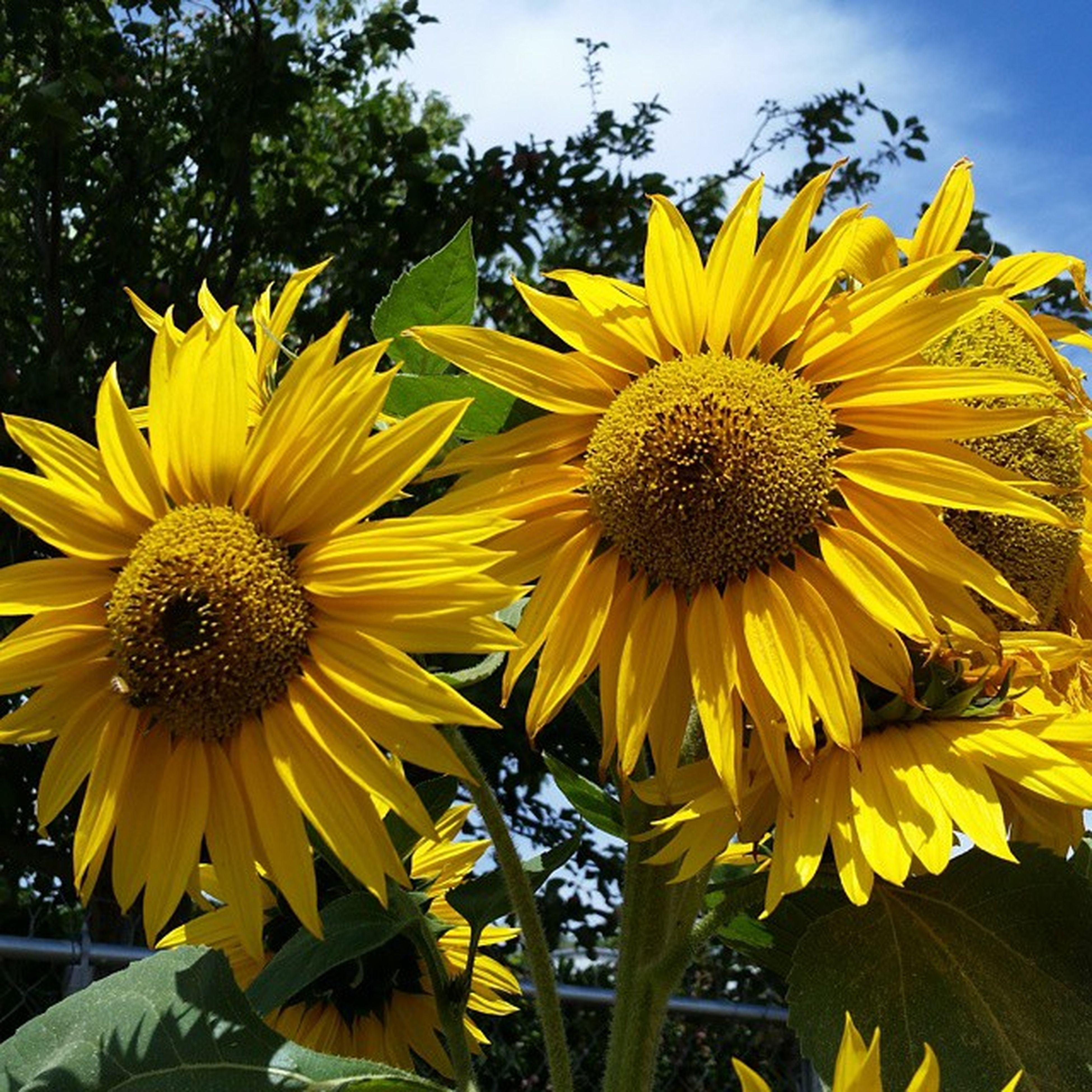 flower, yellow, freshness, petal, flower head, fragility, sunflower, growth, pollen, beauty in nature, blooming, close-up, plant, nature, focus on foreground, in bloom, sky, outdoors, day, no people