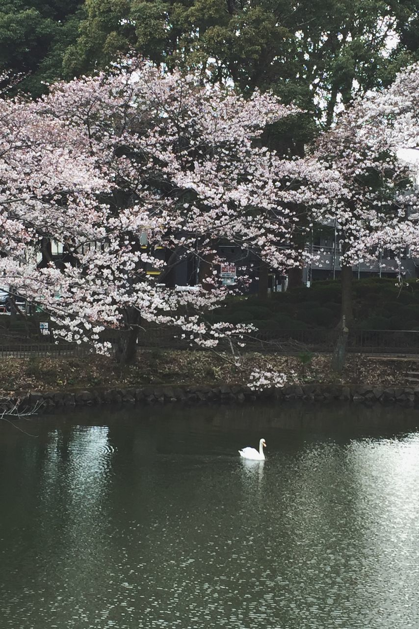 tree, nature, one animal, beauty in nature, water, animal themes, day, white color, outdoors, lake, no people, flower, animals in the wild, growth, waterfront, swan, bird, scenics, branch, fragility