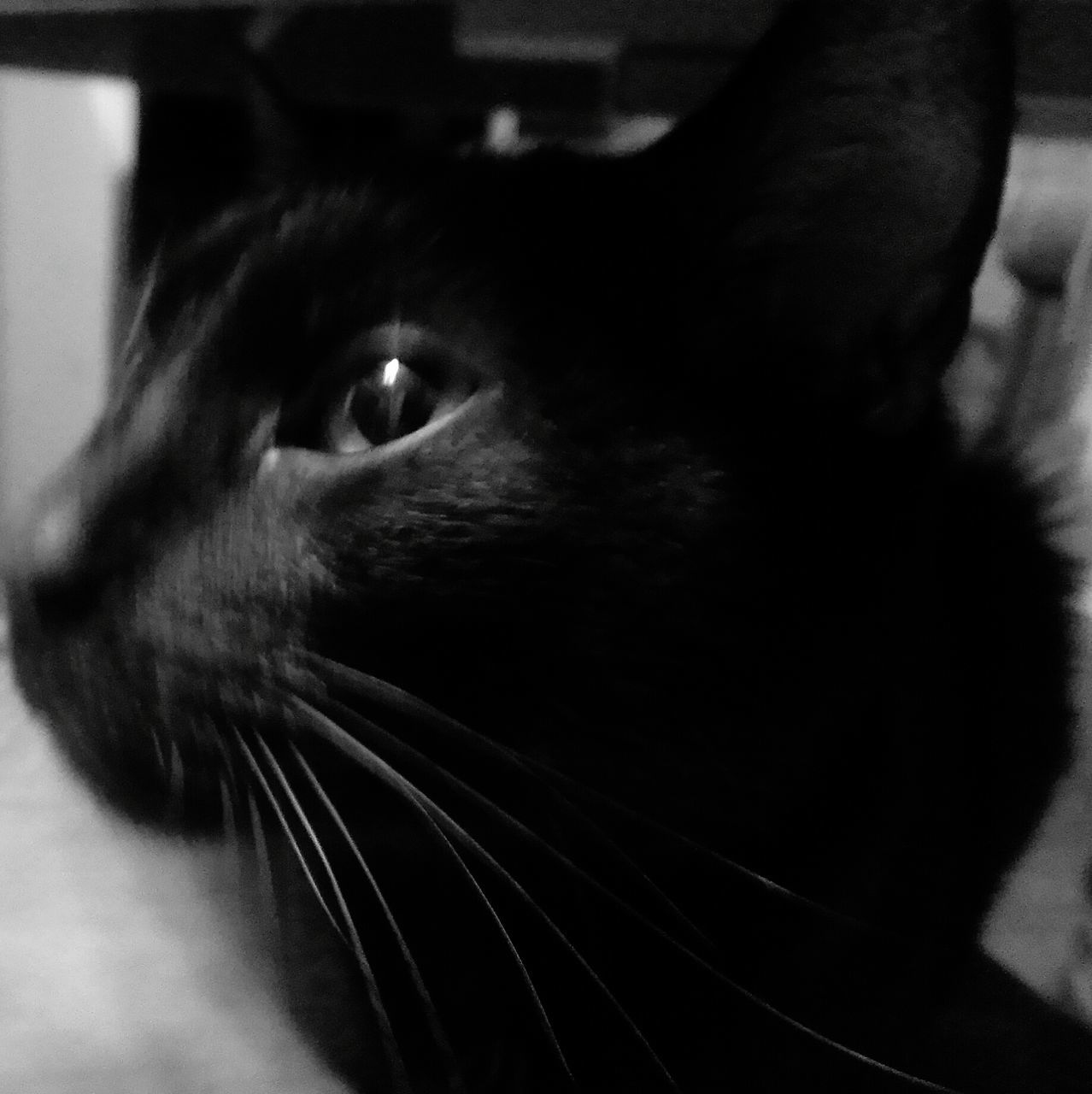 one animal, domestic animals, pets, animal themes, mammal, domestic cat, close-up, indoors, animal head, whisker, feline, no people, portrait, day