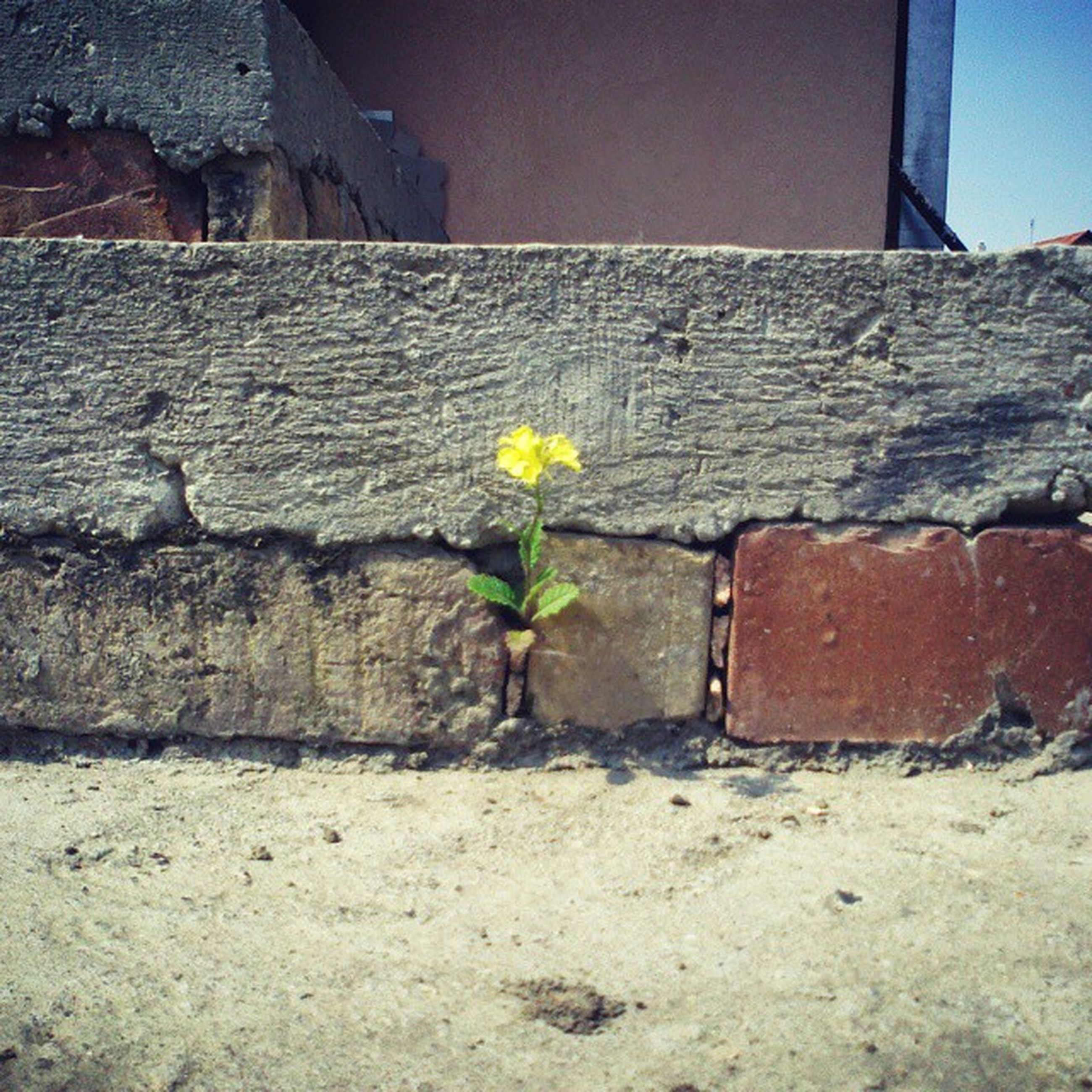 flower, built structure, architecture, building exterior, plant, fragility, wall - building feature, freshness, growth, stone wall, yellow, petal, wall, blooming, flower head, nature, day, brick wall, outdoors, no people