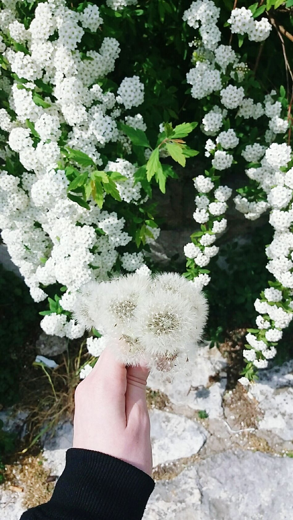 Allwhite Flowers Nature Outdoors