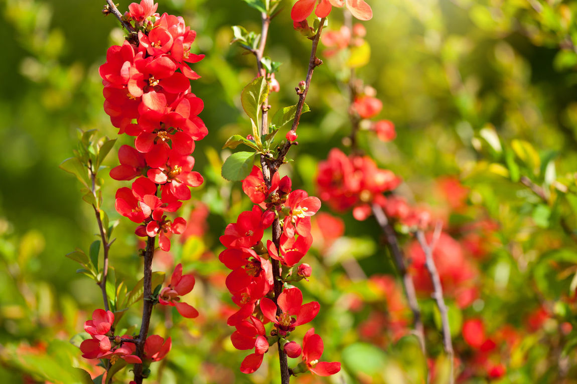 Chaenomeles shrub red blossoms in ornamental garden, blooms bunch, deciduous plant grow in Poland, Europe, horizontal orientation, nobody. Bloom Blooming Blossom Blossoming  Blossoms  Chaenomeles Close-up Deciduous Flower Flowering Flowers Nature No People Plant Red Shrub Spiny Spring Twig