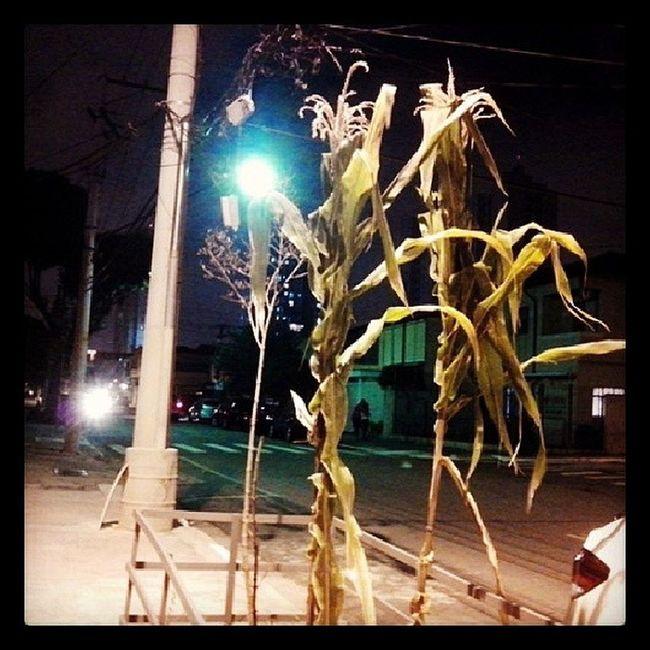 Adorei a ideia de plantar milho na calcada Saopaulo Brasil Milhoverde