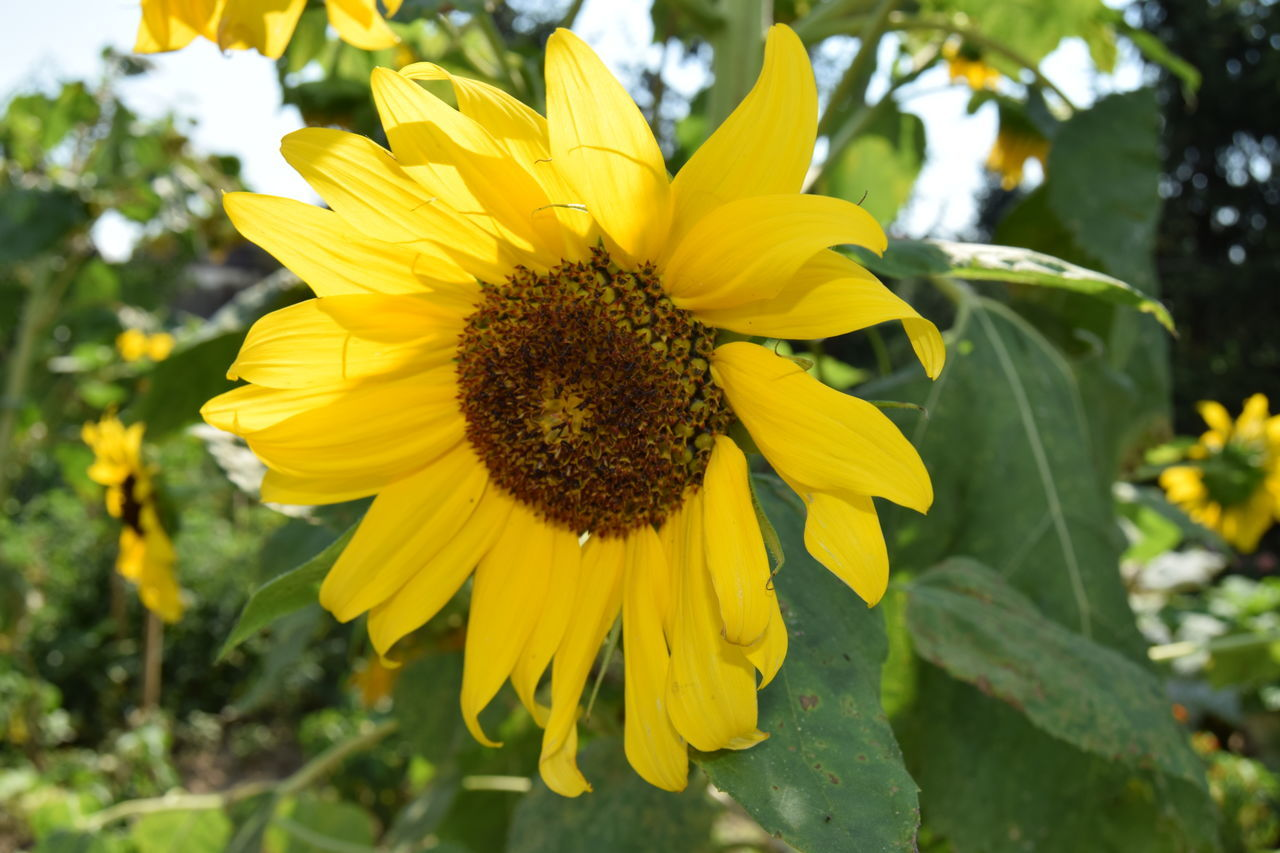 yellow, flower, petal, fragility, growth, nature, beauty in nature, flower head, freshness, outdoors, day, plant, pollen, focus on foreground, sunflower, blooming, close-up, no people, animal themes