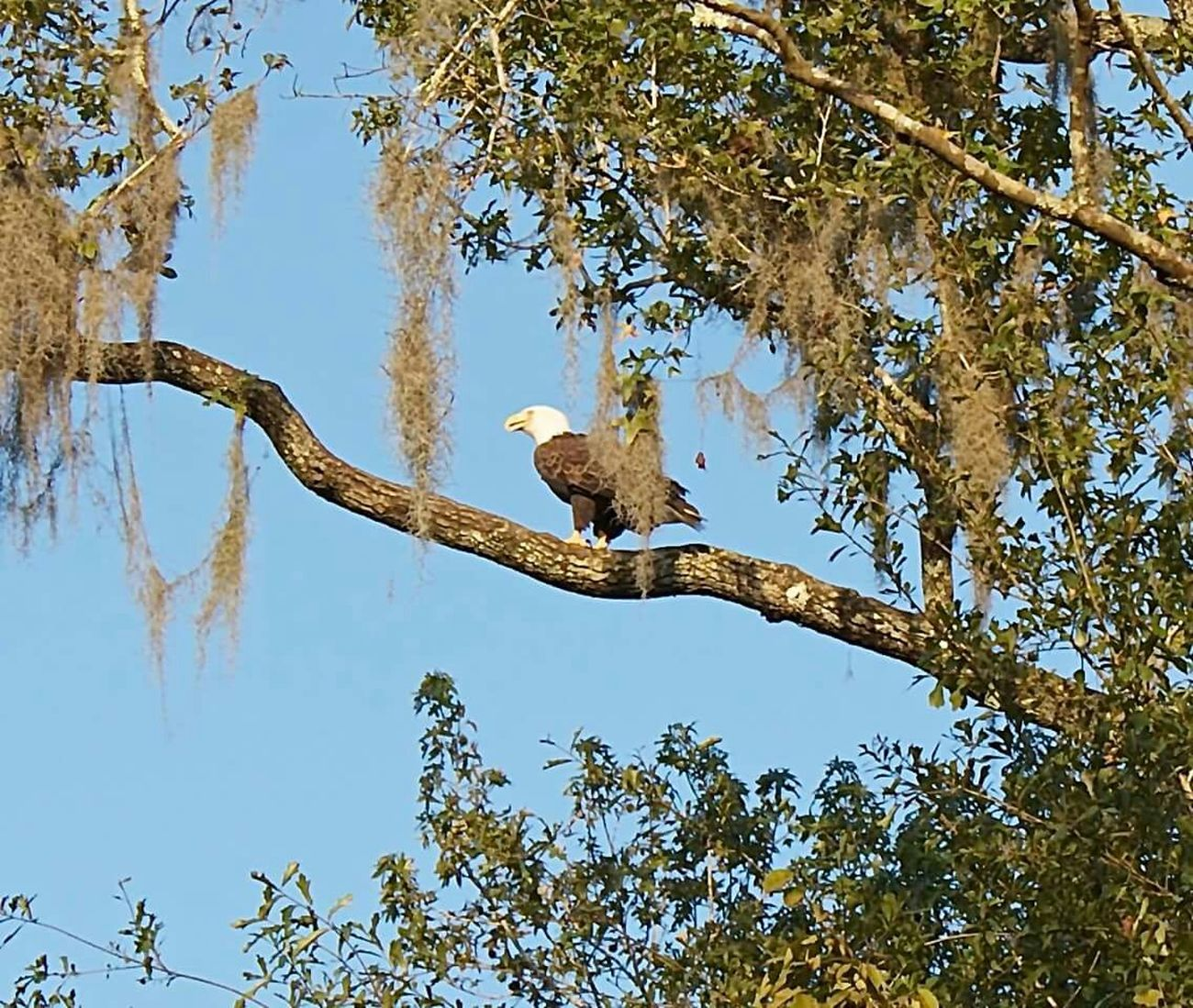 Bald Eagle in natural habitat outside New Orleans in the Bayou. Bayou American Eagle Louisiana Swamp
