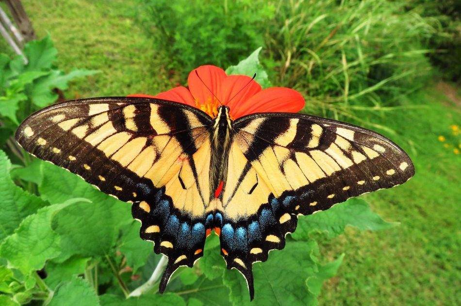 Beautiful stock photos of butterfly, Majestic, animal Markings, animal Themes, animal Wing