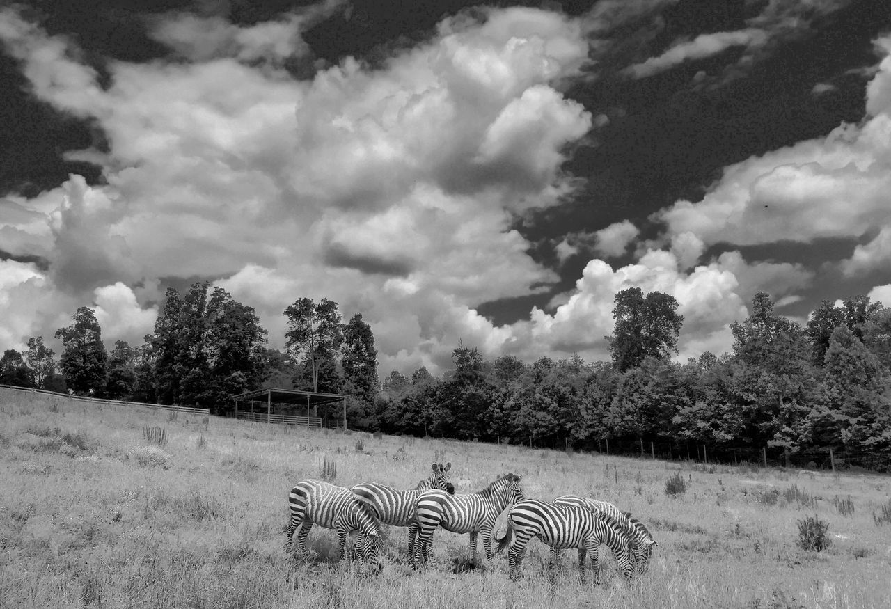 Zebras Iphone 6 VividHDR Black And White
