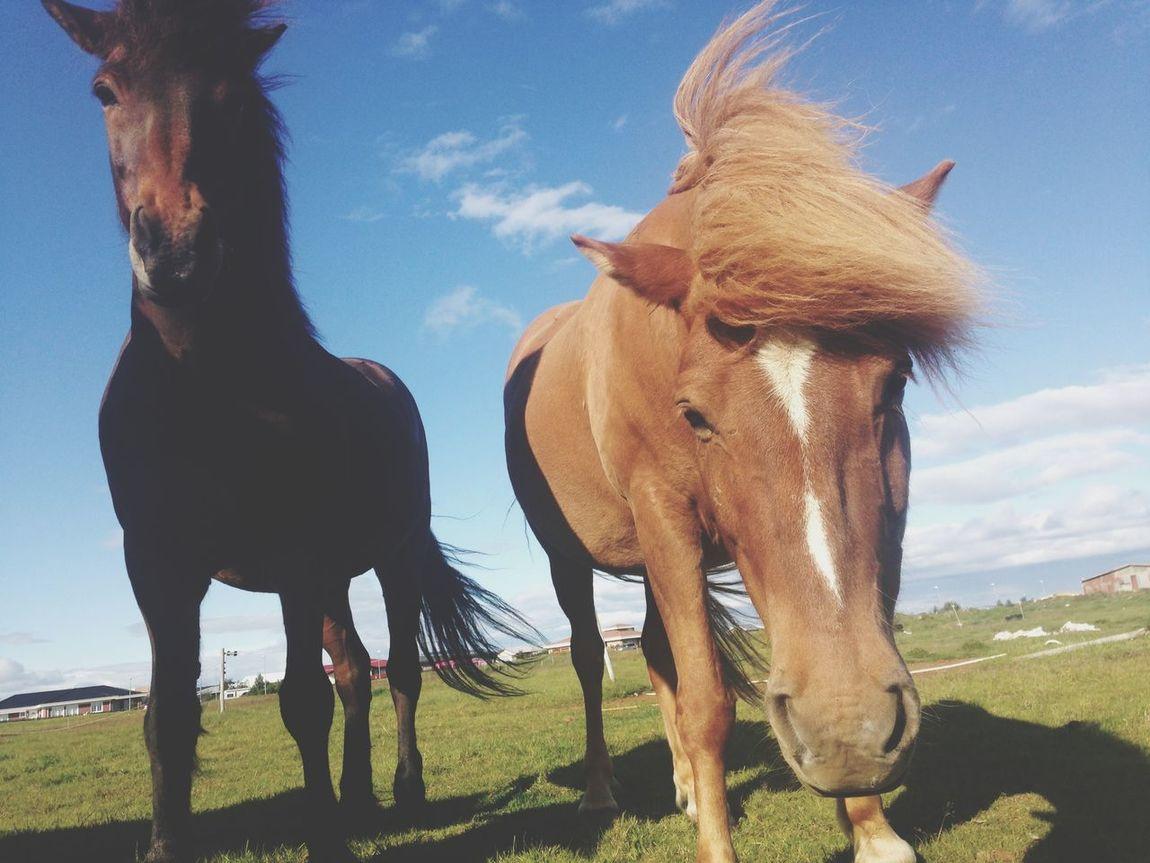 Horsí Icelandic Horse Horse